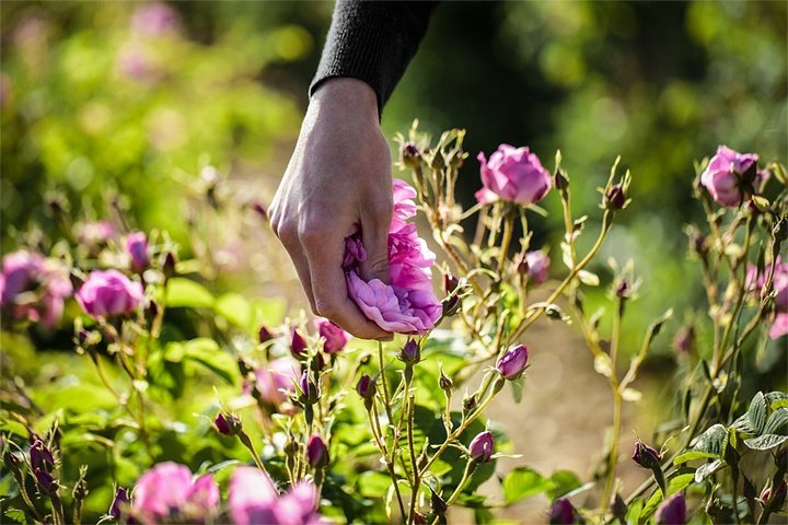 The ritualistic flower picking is done by hand in the mornings over several weeks and is meticulous.