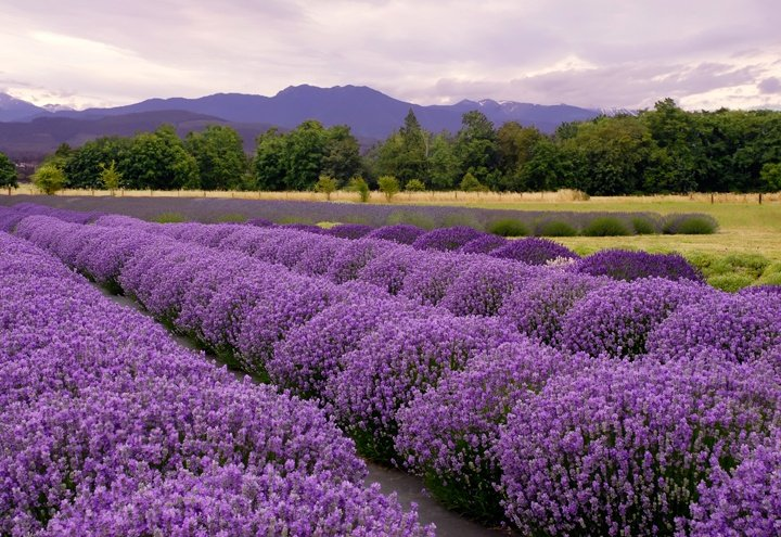 Lavender fields abound in Grasse-to the delight of all who visit.